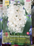 JACINTHES FAIRY WHITE, BLANCHE 16 X5
