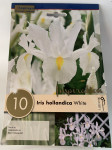 IRIS X10 HOLLANDICA WHITE WEDGWOOD
